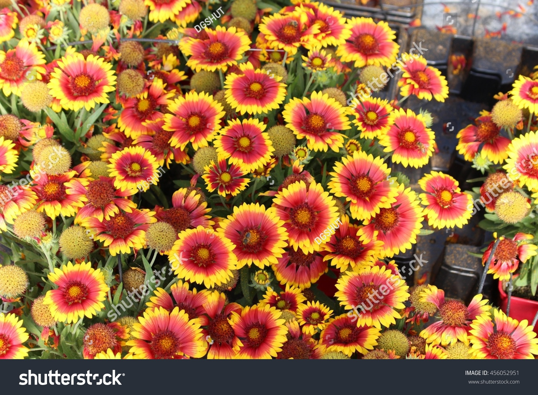 Red Yellow Blanket Flower Gailardia Garden Stock Photo Edit Now