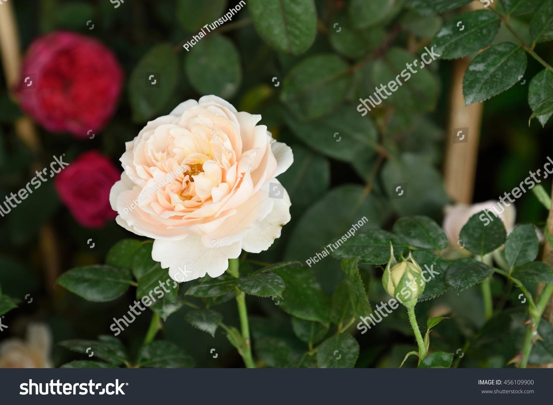 White Rose Symbols Purity Innocence Traditional Stock Photo Edit