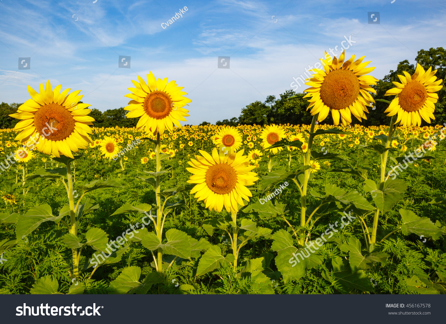 Several Tall Sunflowers Daisylike Flower Faces Stock Photo Edit Now