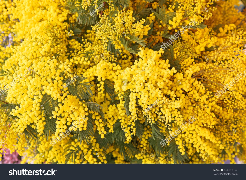 Fresh yellow acacia dealbata mimosa flowers stock photo edit now fresh yellow acacia dealbata mimosa flowers bouquet in bloom mightylinksfo