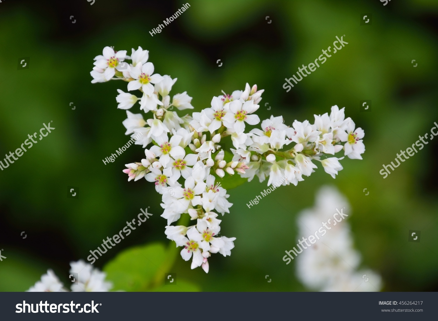 Pretty White Buckwheat Flowers Ez Canvas