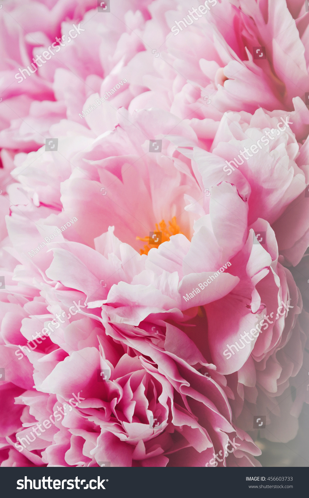 Beauty bunch pink peonies peony flowers stock photo 456603733 beauty bunch of pink peonies peony flowers floral background spring or summer lovely bouquet dhlflorist Images