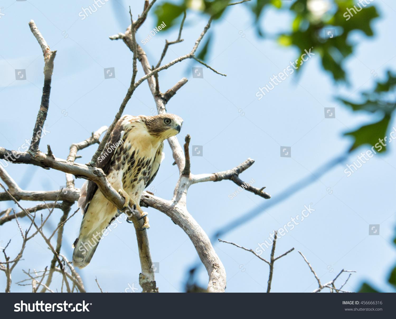 stock-photo-juvenile-buteo-jamaicensis-r