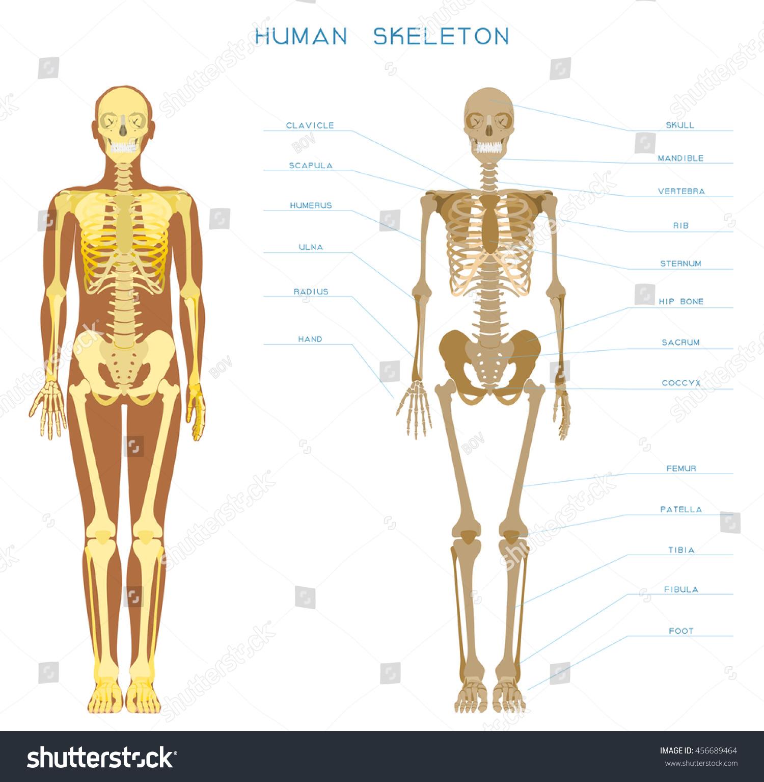 Human Anatomy Detailed Skeleton Fulllength Front Stock Vector