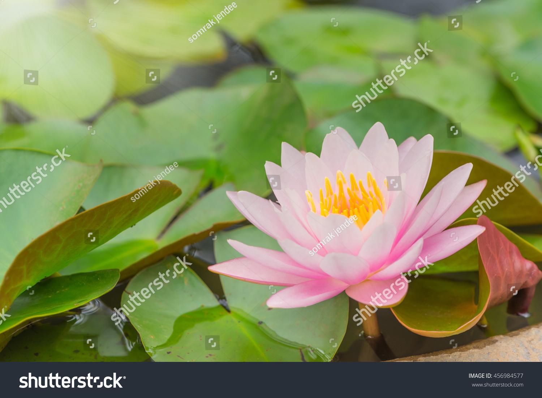Beautiful pink lotus flower green leave stock photo edit now beautiful pink lotus flower with green leave in the pondselective focus izmirmasajfo