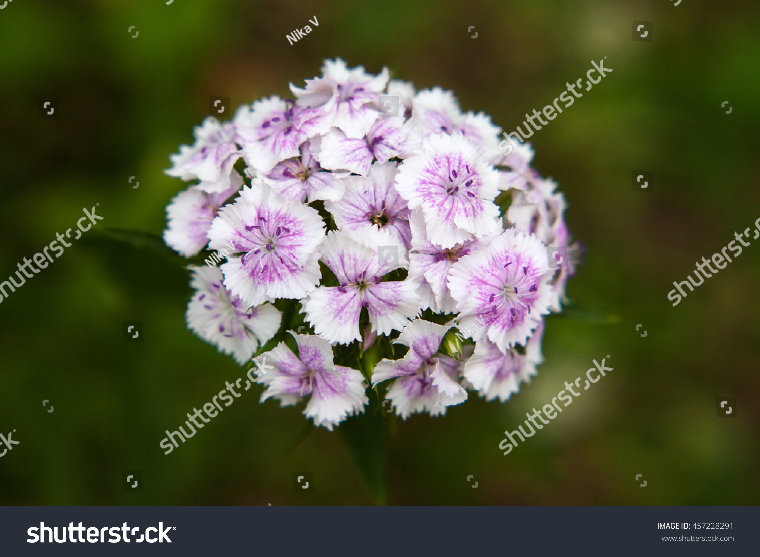 White Pink Flowers Sweet William Dianthus Stock Photo Edit Now