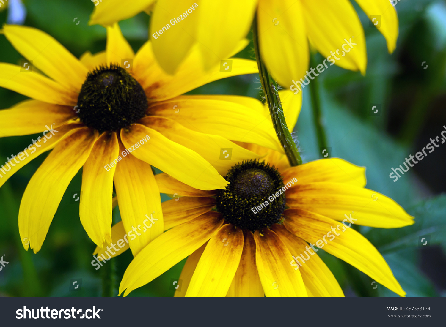 Several Yellow Daisy With A Dark Brown Center Growing In The Garden