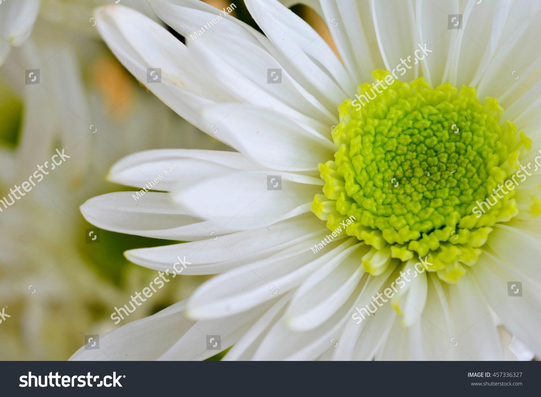 White Chrysanthemum Flower Ez Canvas