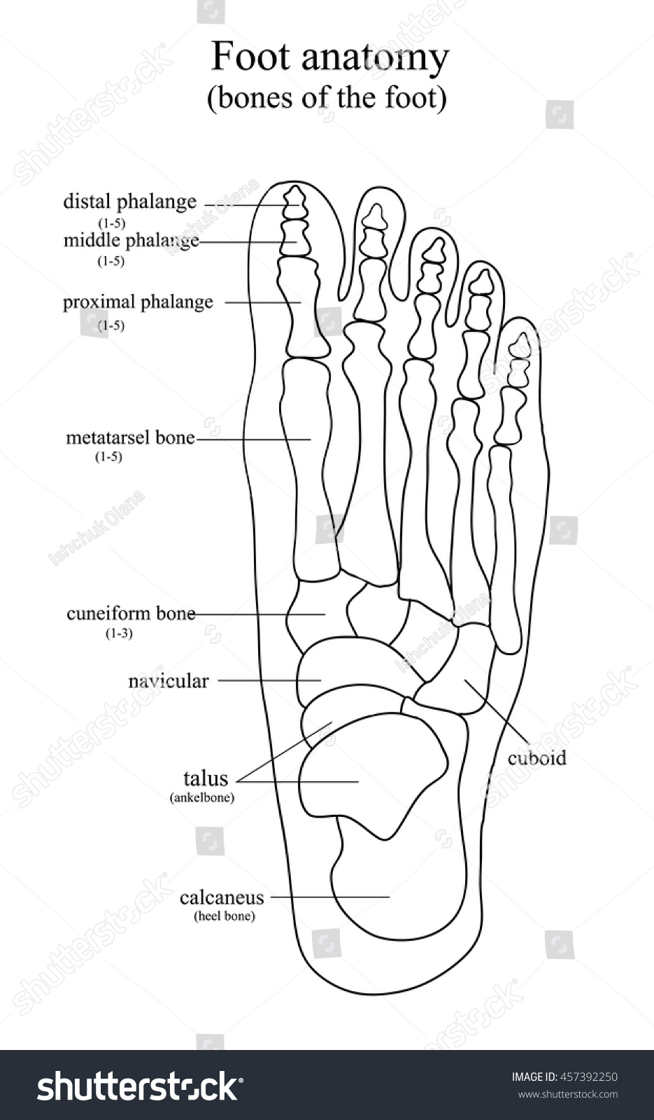 Anatomical Drawing Foot Stock Vector 457392250 - Shutterstock