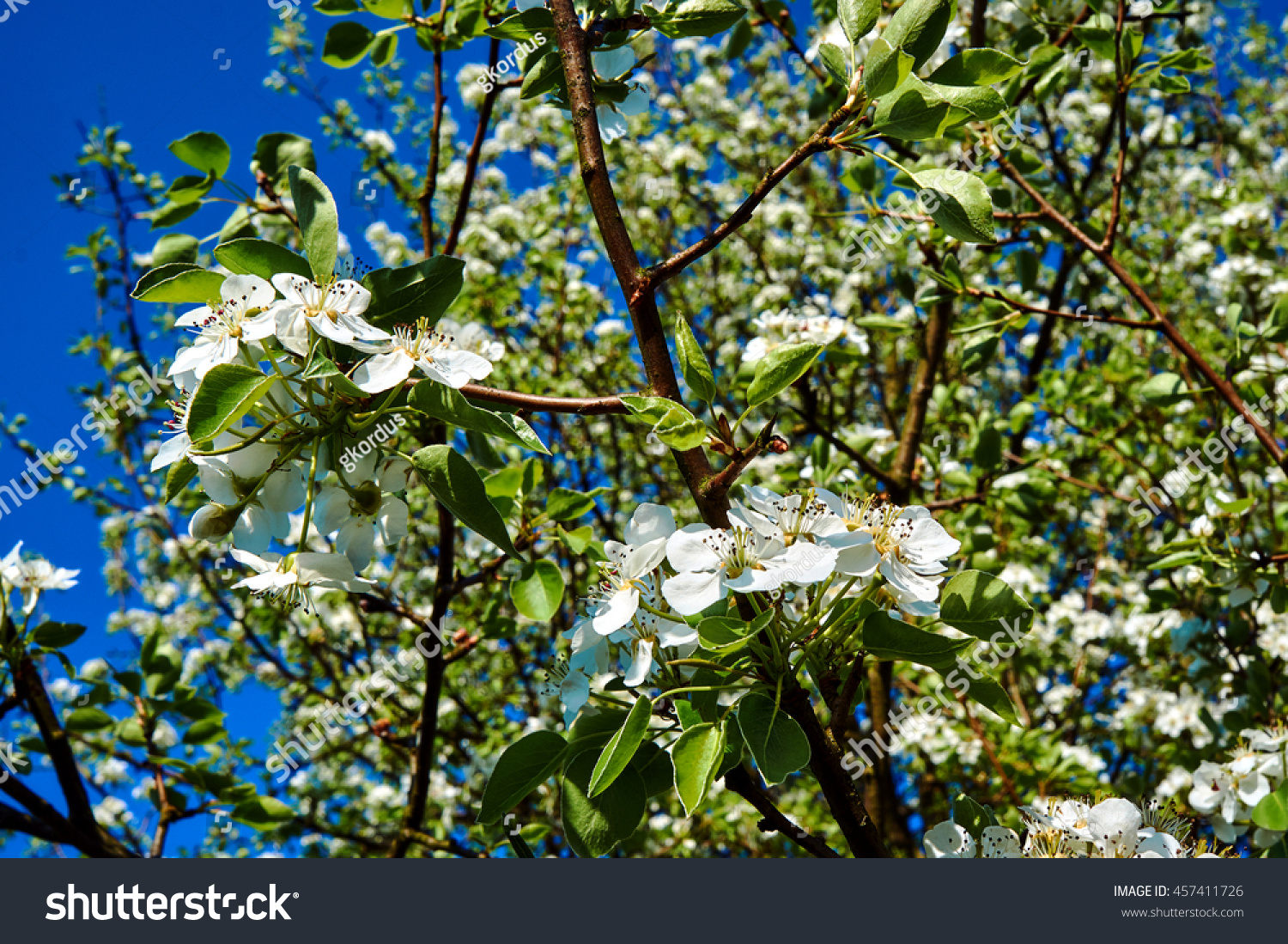 Small White Flowers On Tree Spring Stock Photo Edit Now 457411726