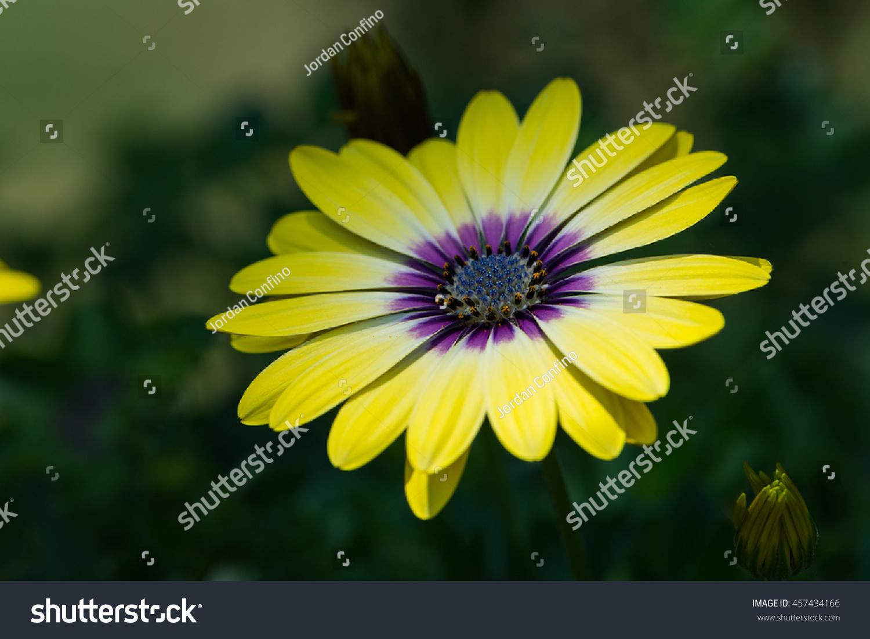 Small Yellow Purple Center Osteospermum Flowers Stock Photo Edit
