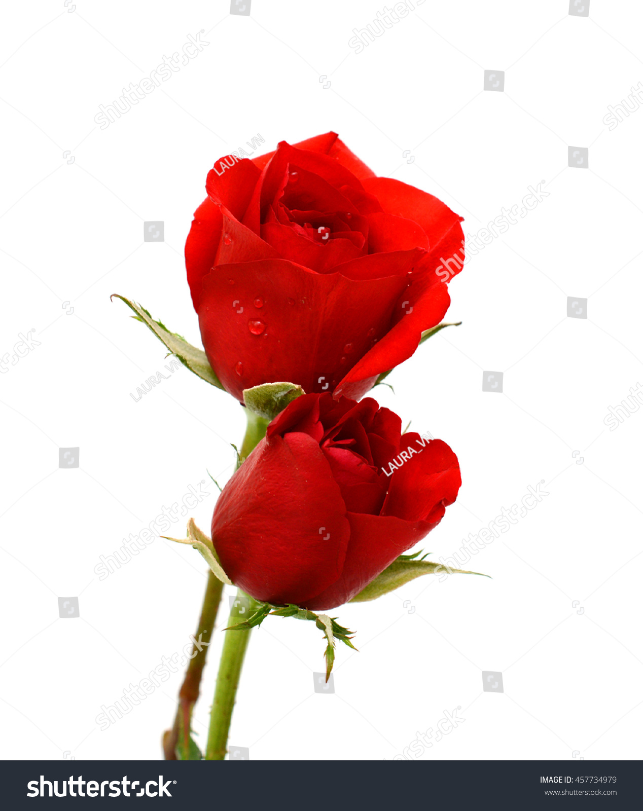 Beautiful Red Rose Flowers Isolated On White Background Ez Canvas