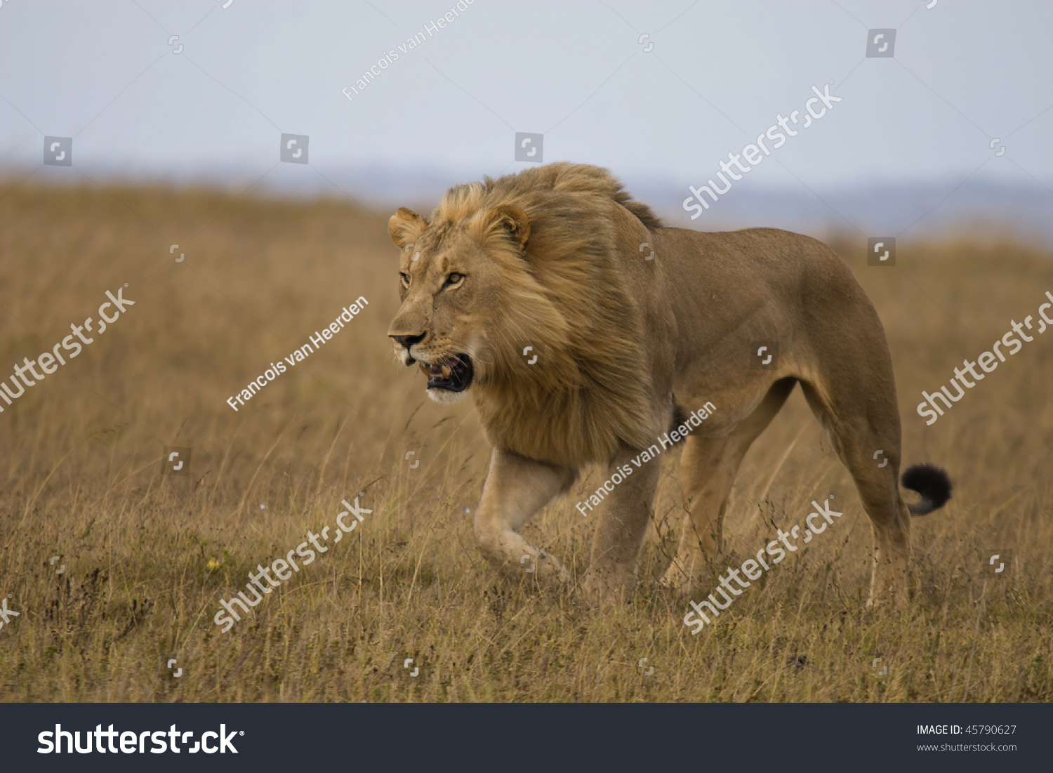 Male lion stalking prey - photo#15
