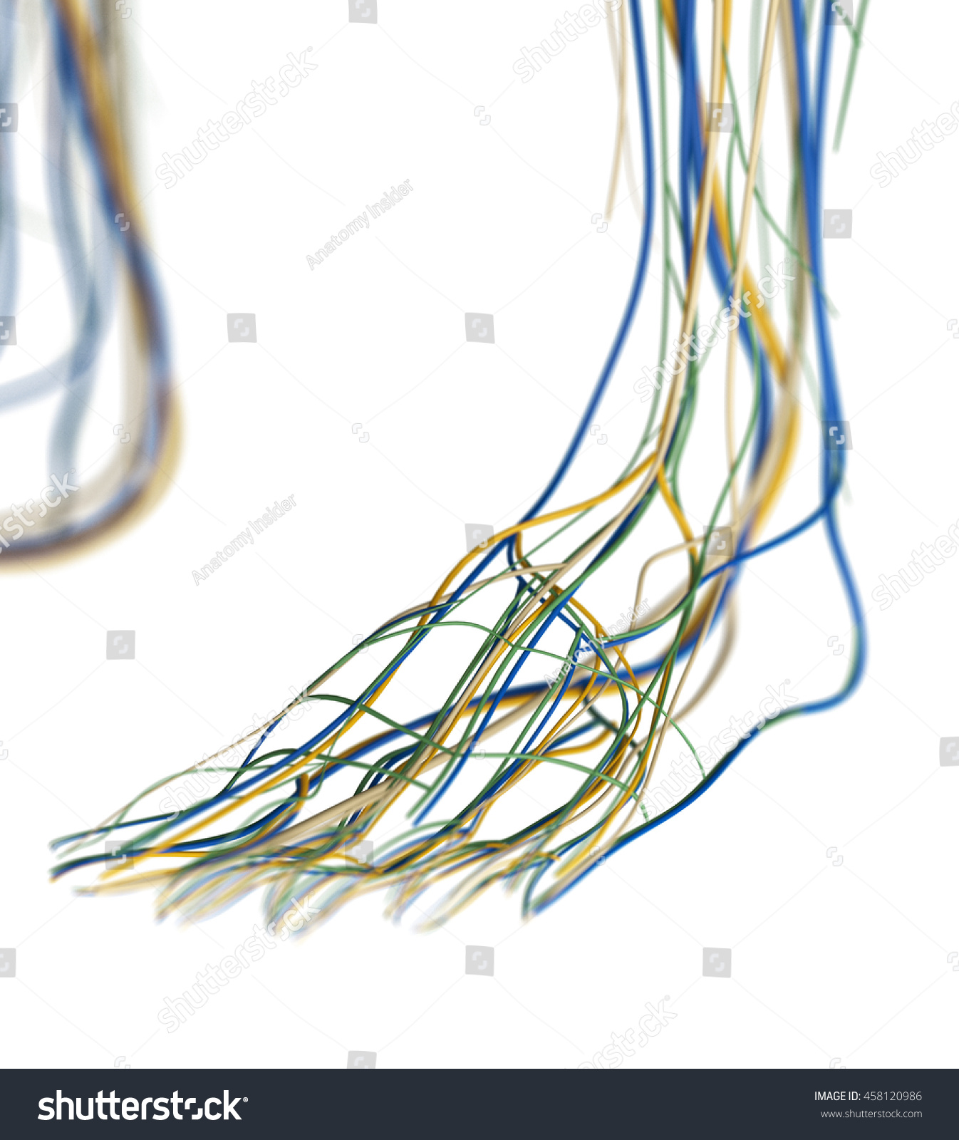 Foot Arteries Lymphatic System Human Anatomy Stock Illustration