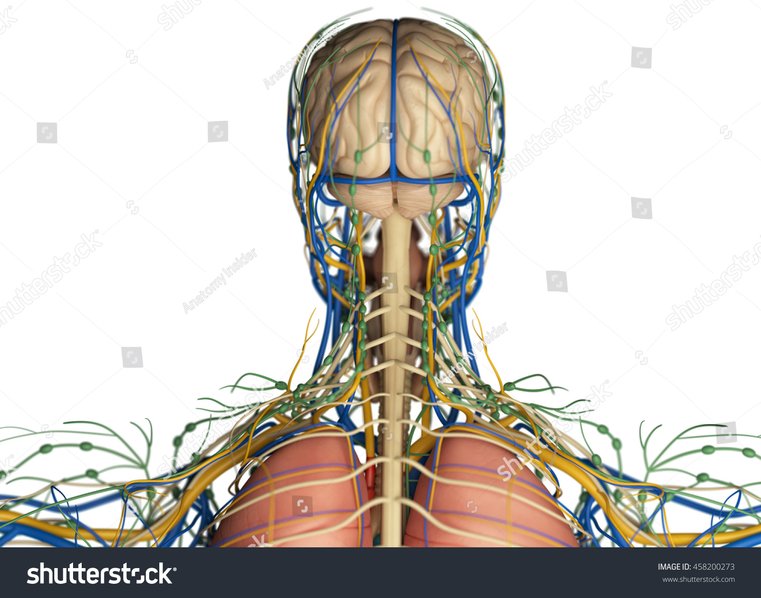 Brain Arteries Nerves Lymph Nodes Human Stock Illustration 458200273 ...