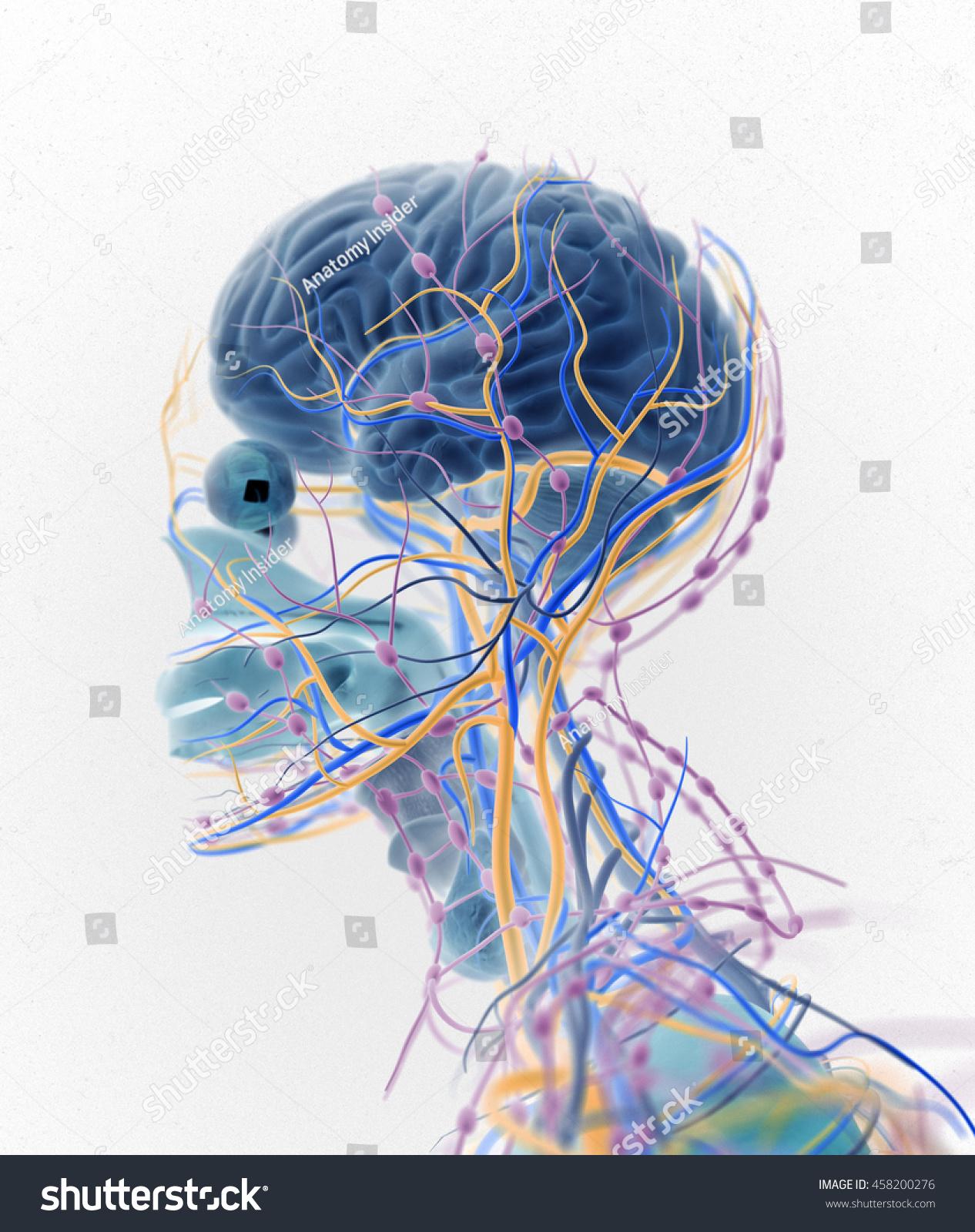 Brain Arteries Nerves Lymph Nodes Human Stock Illustration 458200276