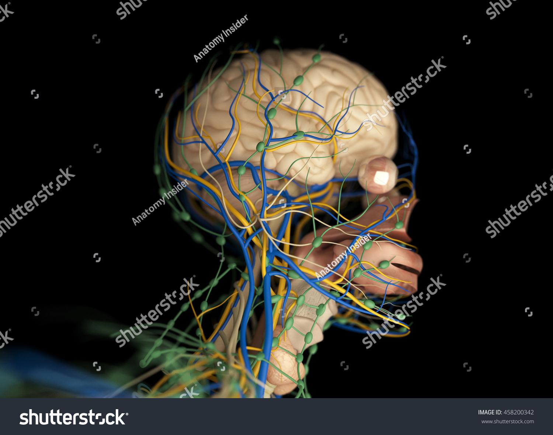 Brain Arteries Nerves Lymph Nodes Human Stock Illustration 458200342