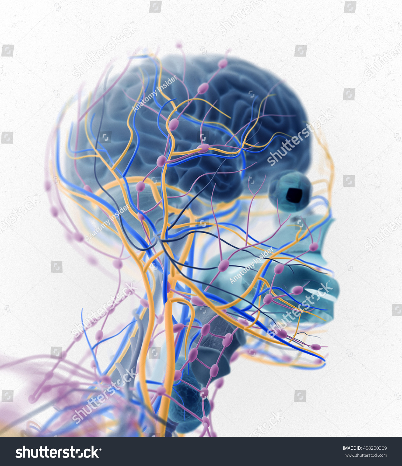 Brain Arteries Nerves Lymph Nodes Human Stock Illustration 458200369 ...