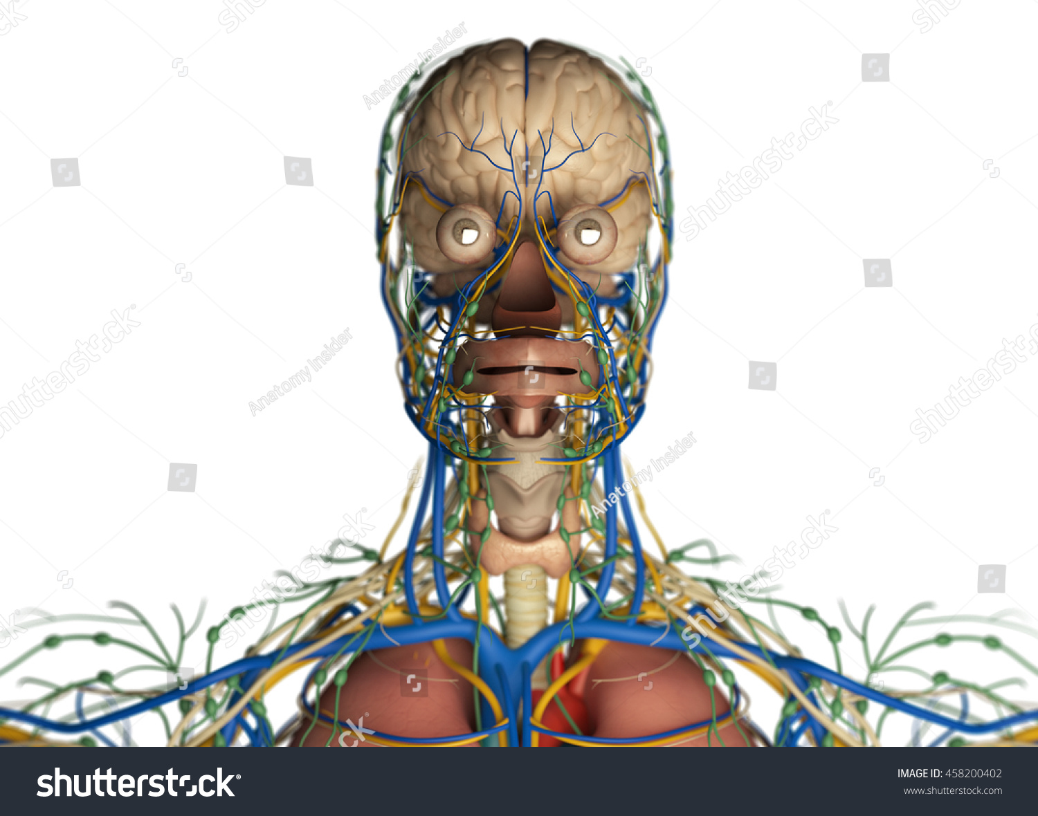 Brain Arteries Nerves Lymph Nodes Human Stock Illustration 458200402 ...