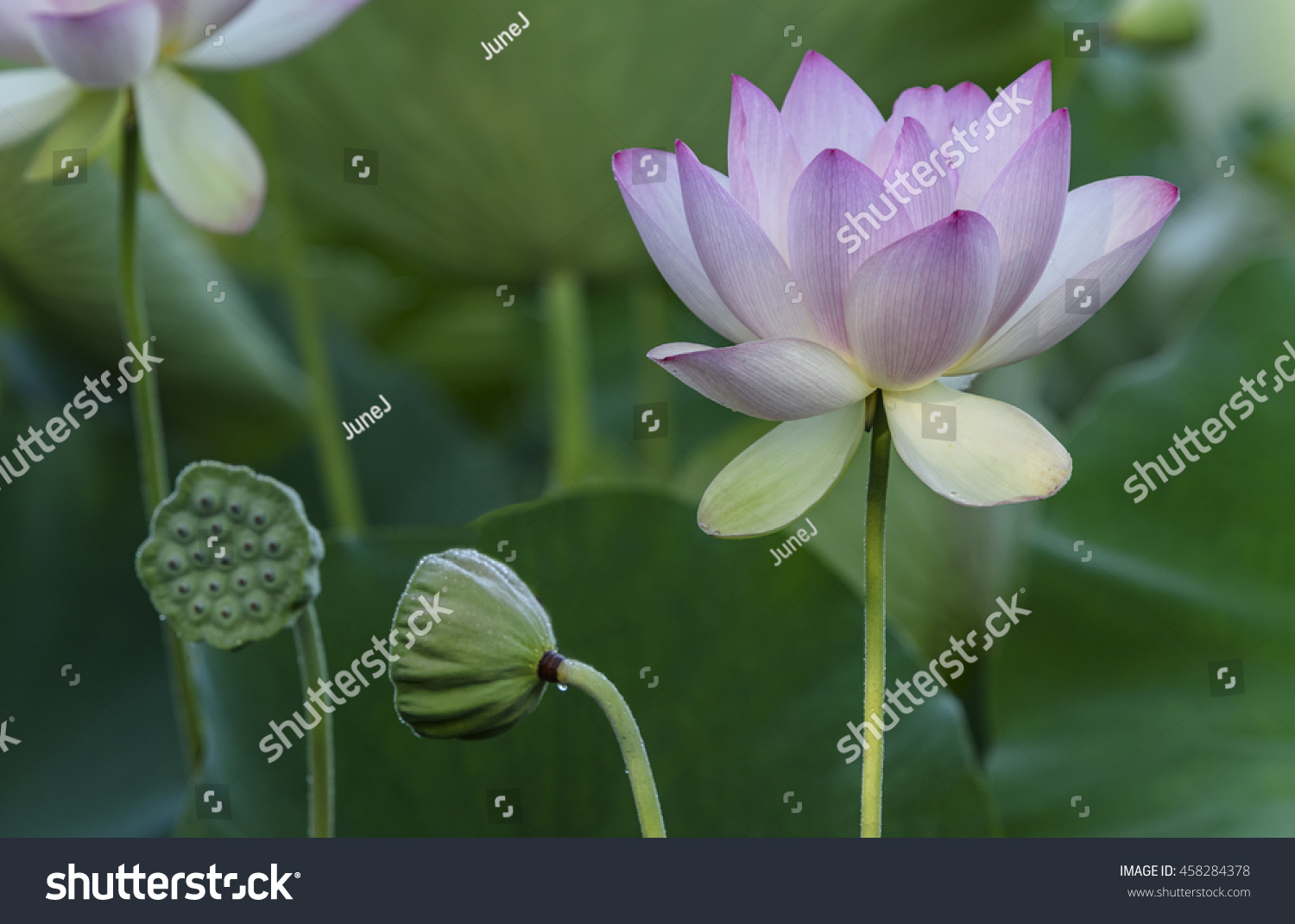 Lotus Flower Seed Pods Stock Photo Edit Now 458284378 Shutterstock