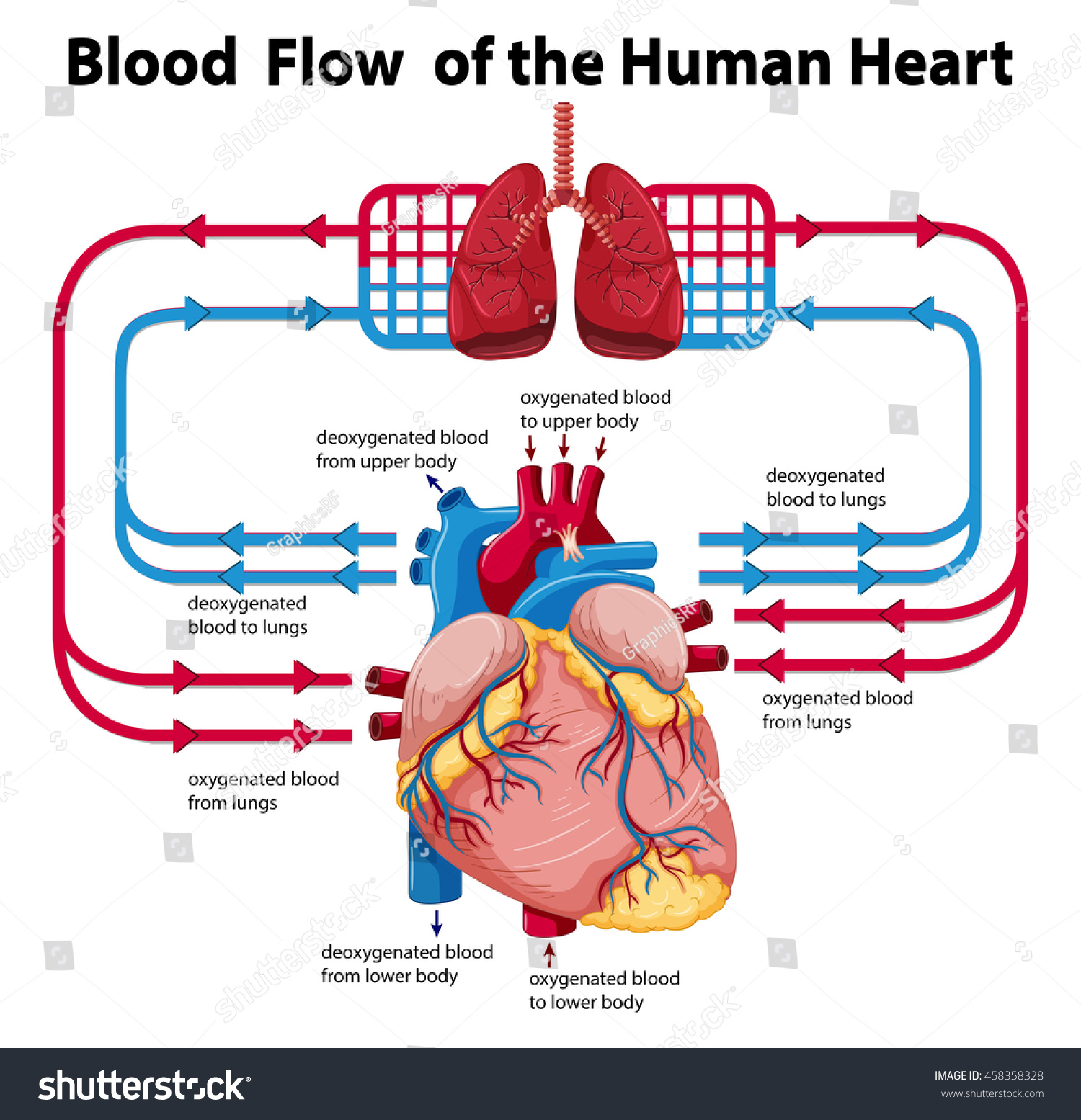 diagram showing blood flow of human heart illustration #458358328, Muscles