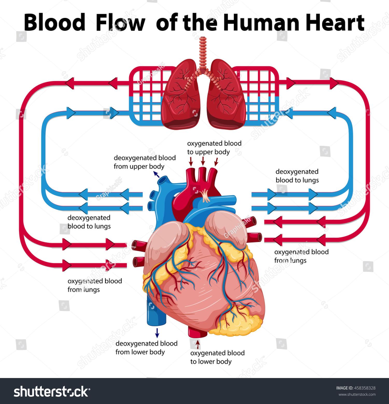 Diagram Showing Blood Flow Human Heart Stock Vector ...