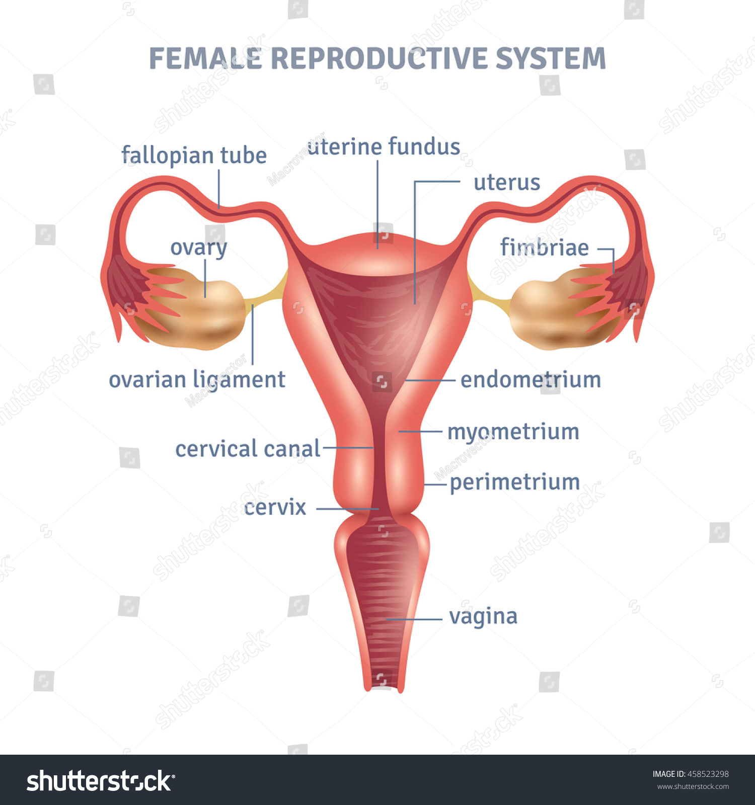 Uterus Medical Poster Female Reproductive System Stock Vector