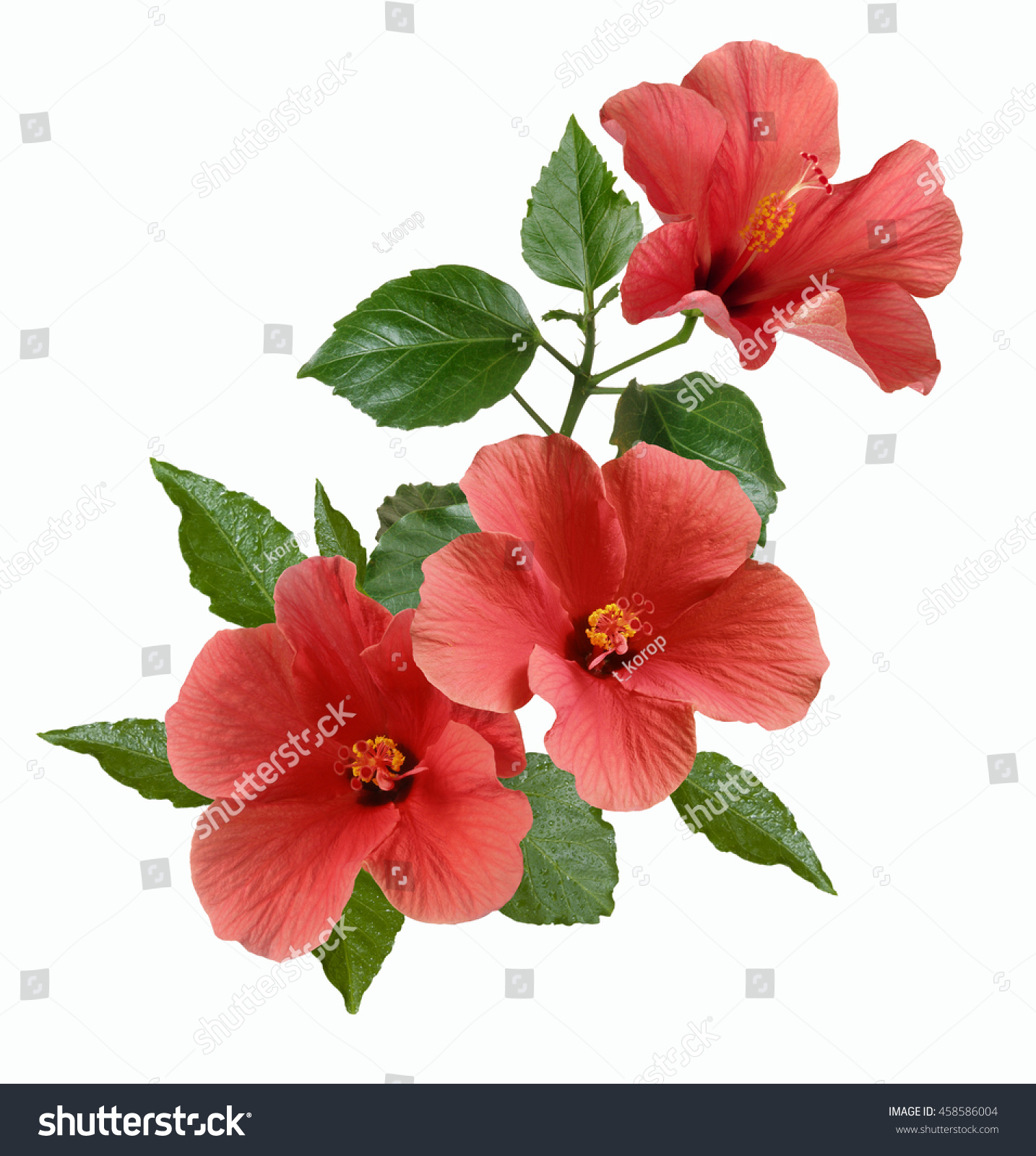 Branch Bright Large Pink Hibiscus Flowers Stock Photo Edit Now