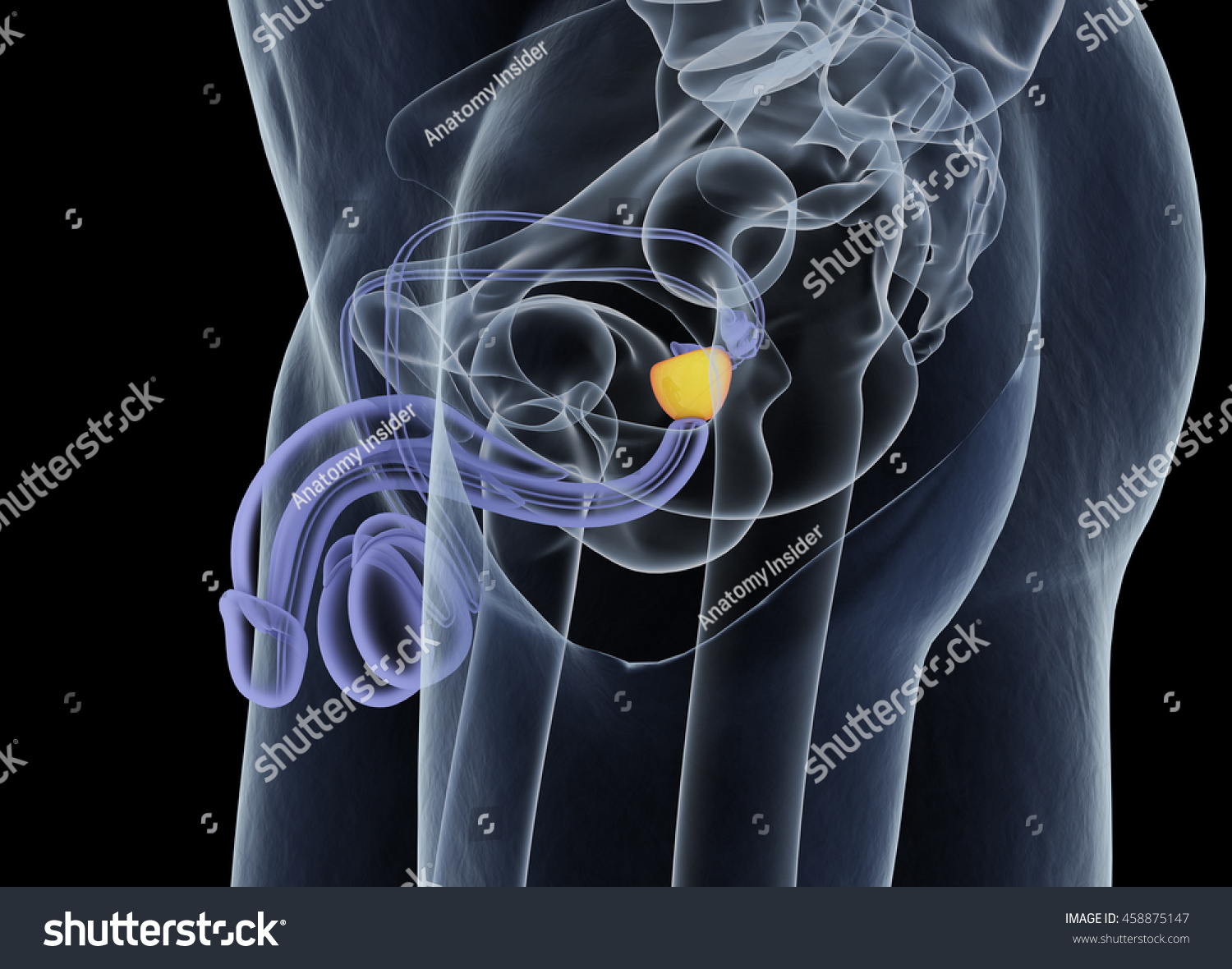 Prostate Gland Male Reproductive Urinary Systems Stock Illustration ...