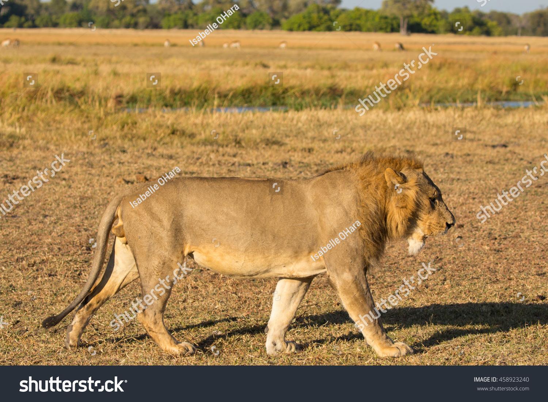 Lion body profile