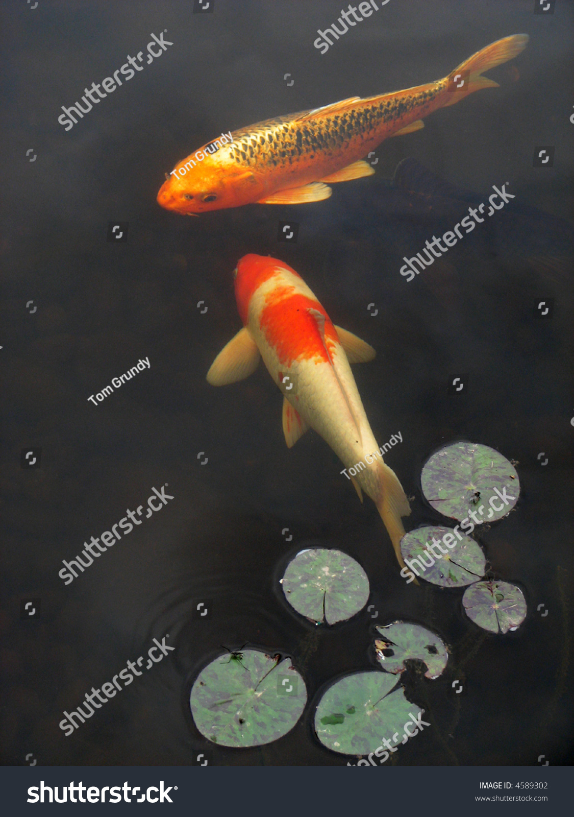 Vertical image of koi goldfish swimming in a garden pool for Koi swimming pool