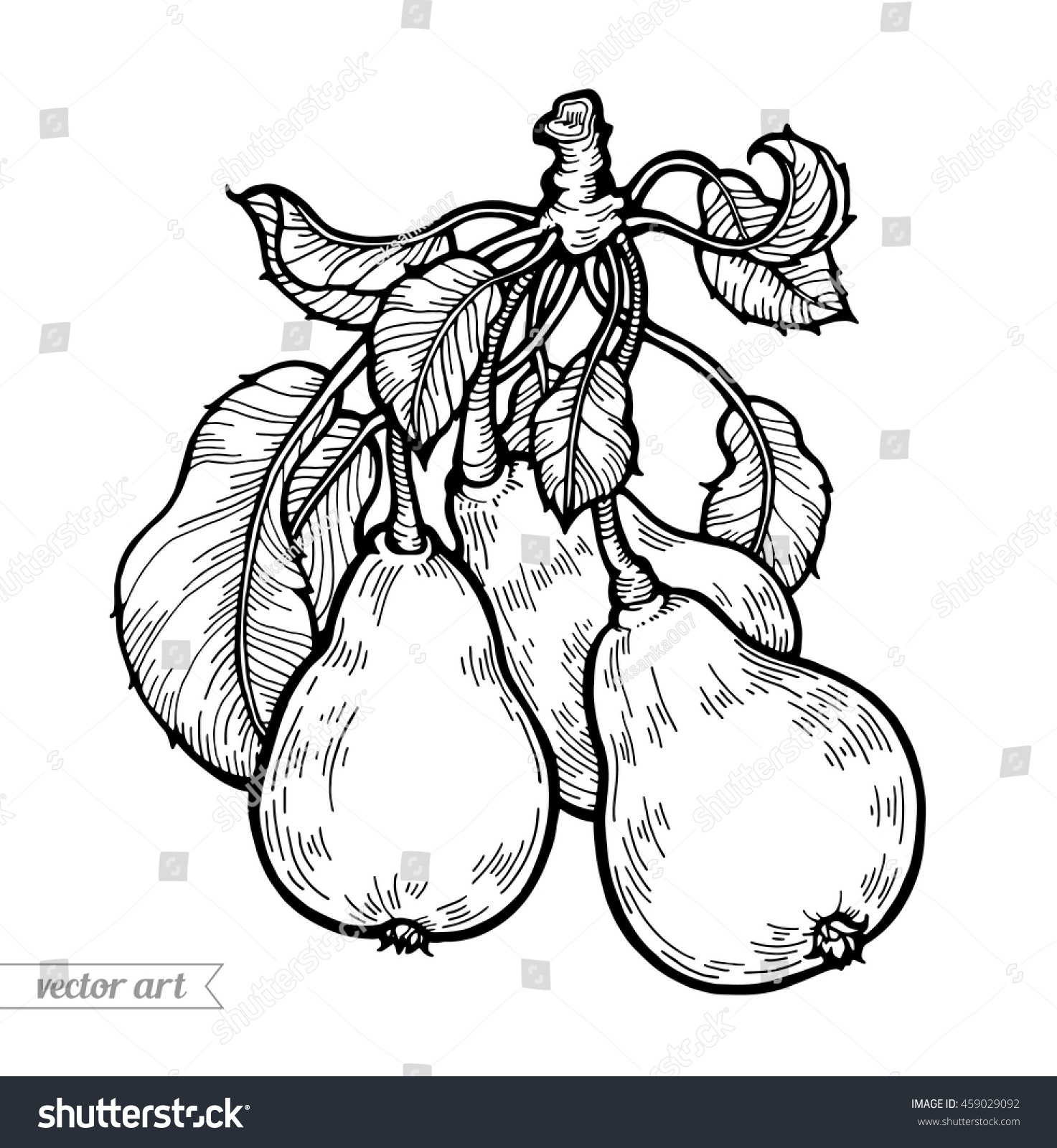 The coloring book clean - Pears Isolated Sweet Fruit Vector Engraving Vintage Illustration Coloring Book Page For Adult