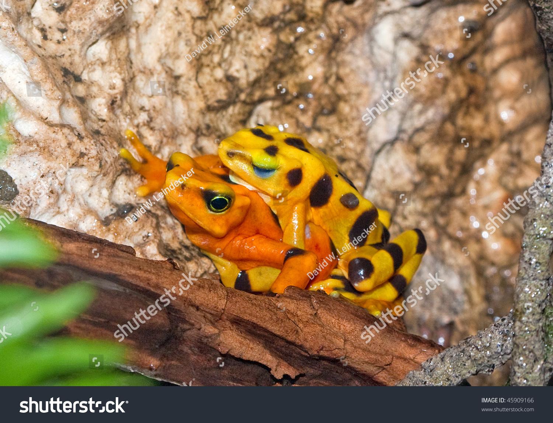 Atelopus frog poisonous - photo#5