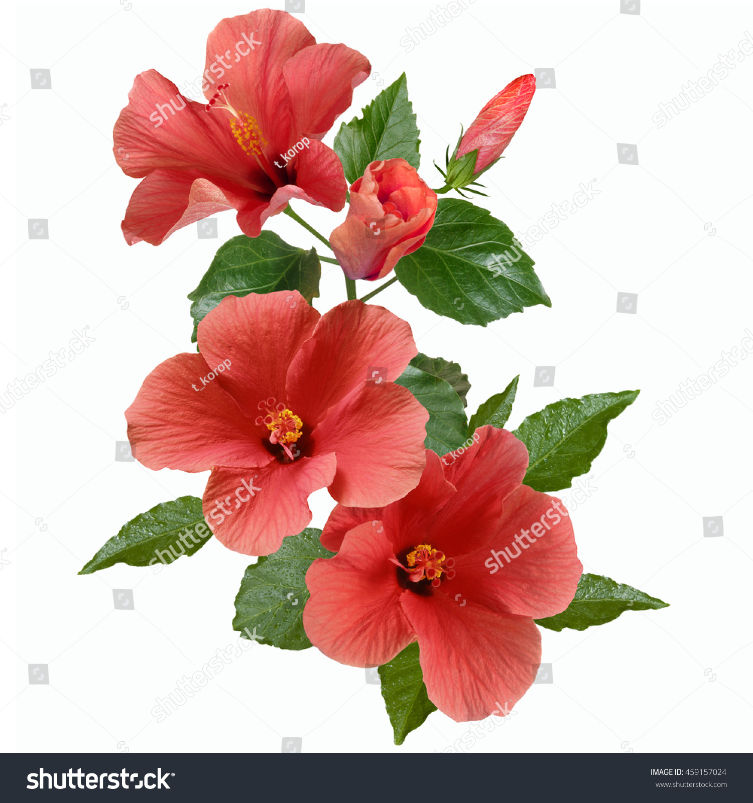 Bright Large Flowers Buds Pink Hibiscus Stock Photo Edit Now