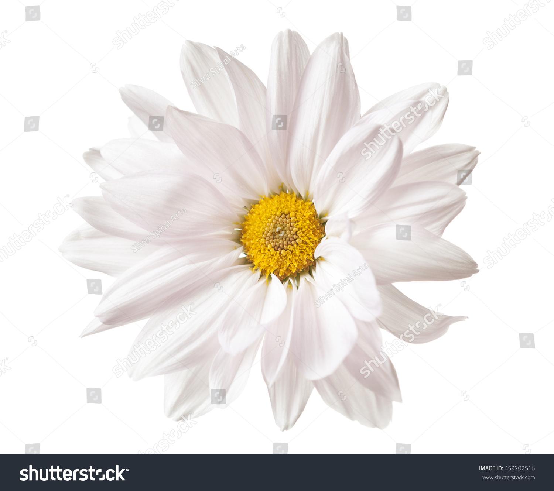 Daisy Flower White Yellow Daisies Blossom Stock Photo Edit Now