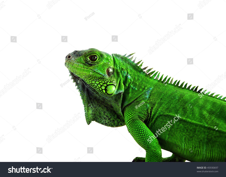 Green Iguana's head, white background