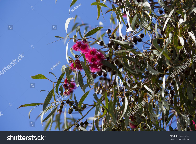 Bright pink flowers australian eucalyptus leucoxylon stock photo bright pink flowers of australian eucalyptus leucoxylon rosea yellow gum blue gum or white mightylinksfo