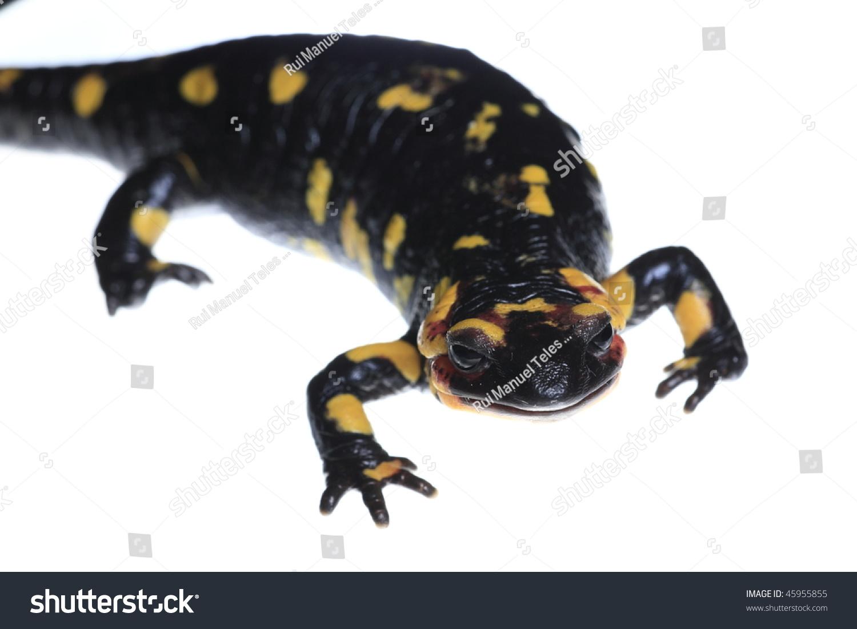 salamander white background - photo #16