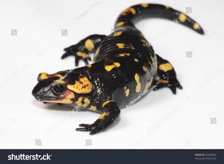salamander white background - photo #14