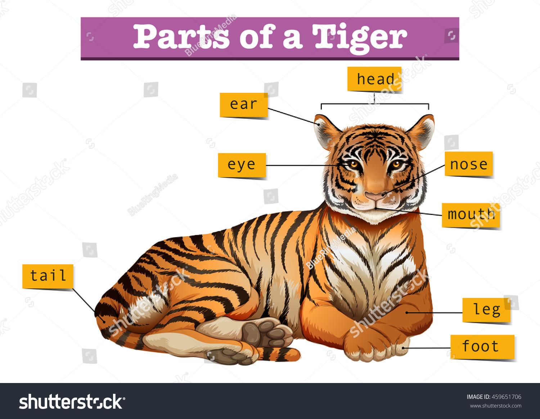 diagram showing parts tiger illustration stock vector 459651706