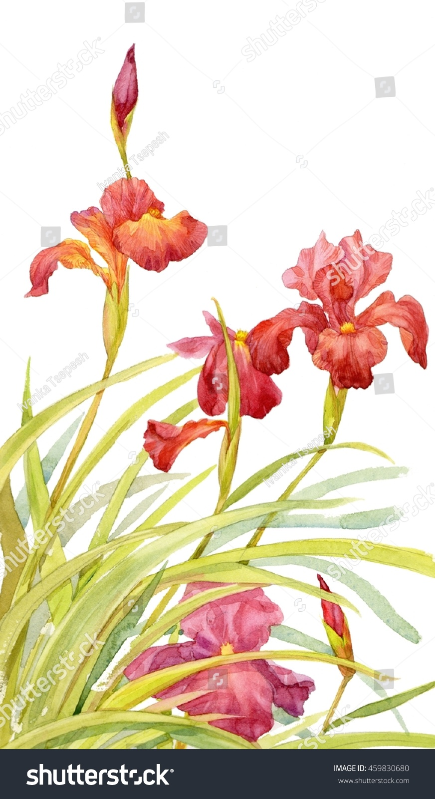 Watercolor Red Iris Flowers Illustration Stock Illustration