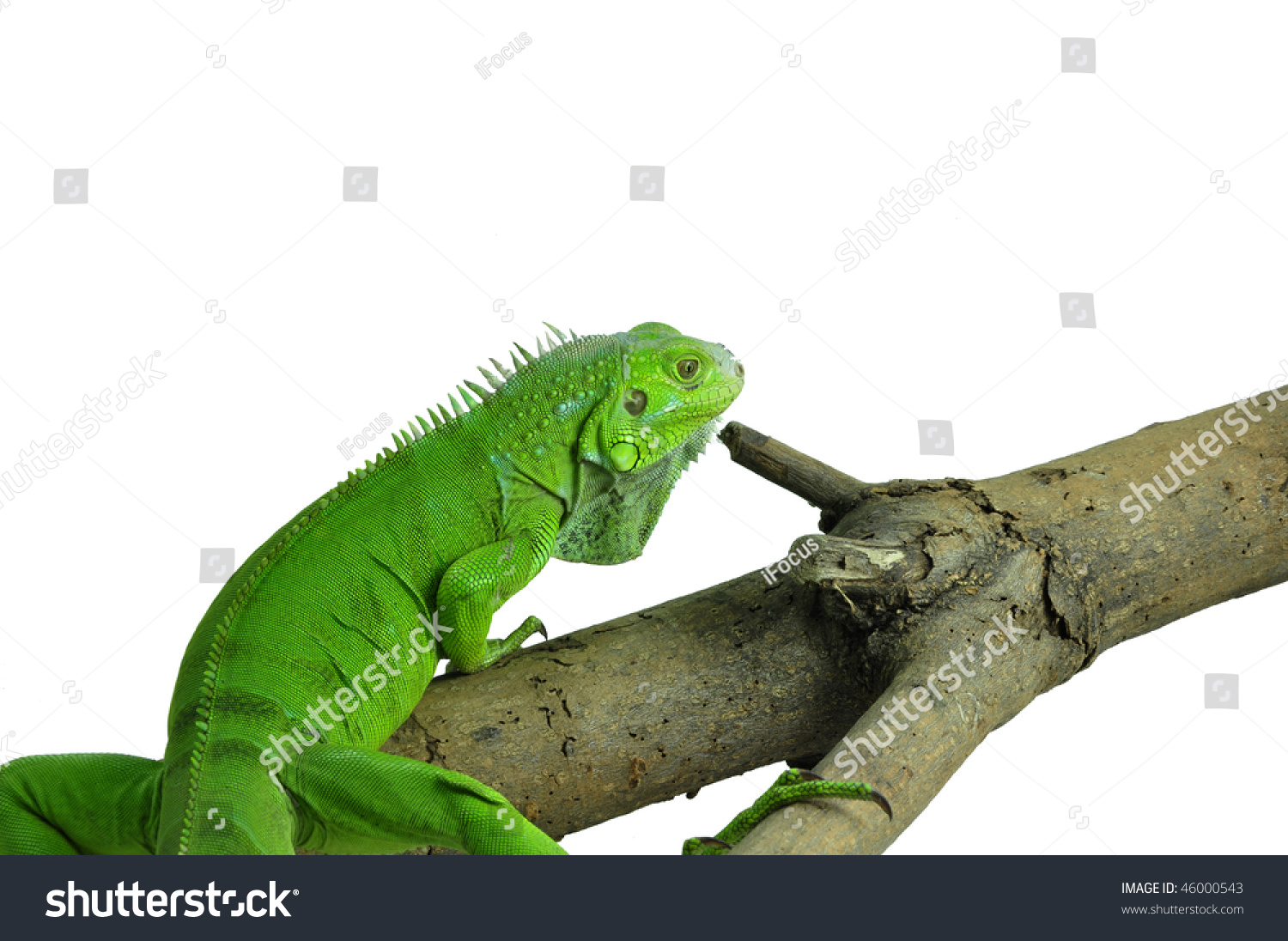 Isolated photo of a green iguana on a branch