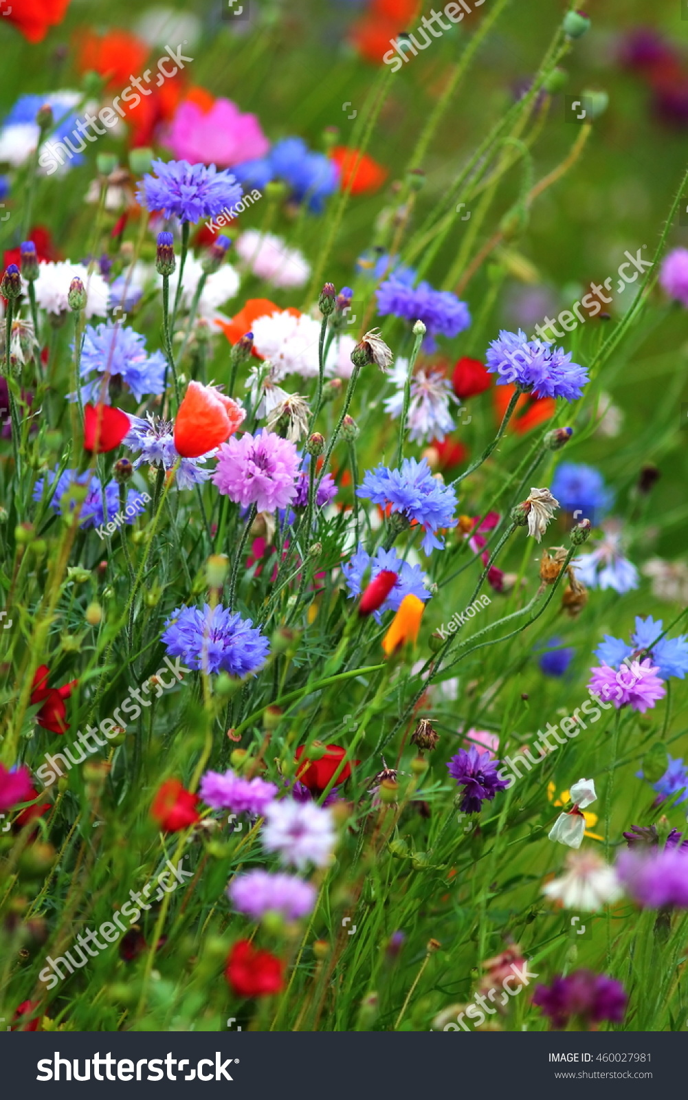 Edible White Purple And Blue Flowers On The Cornflower Meadow In