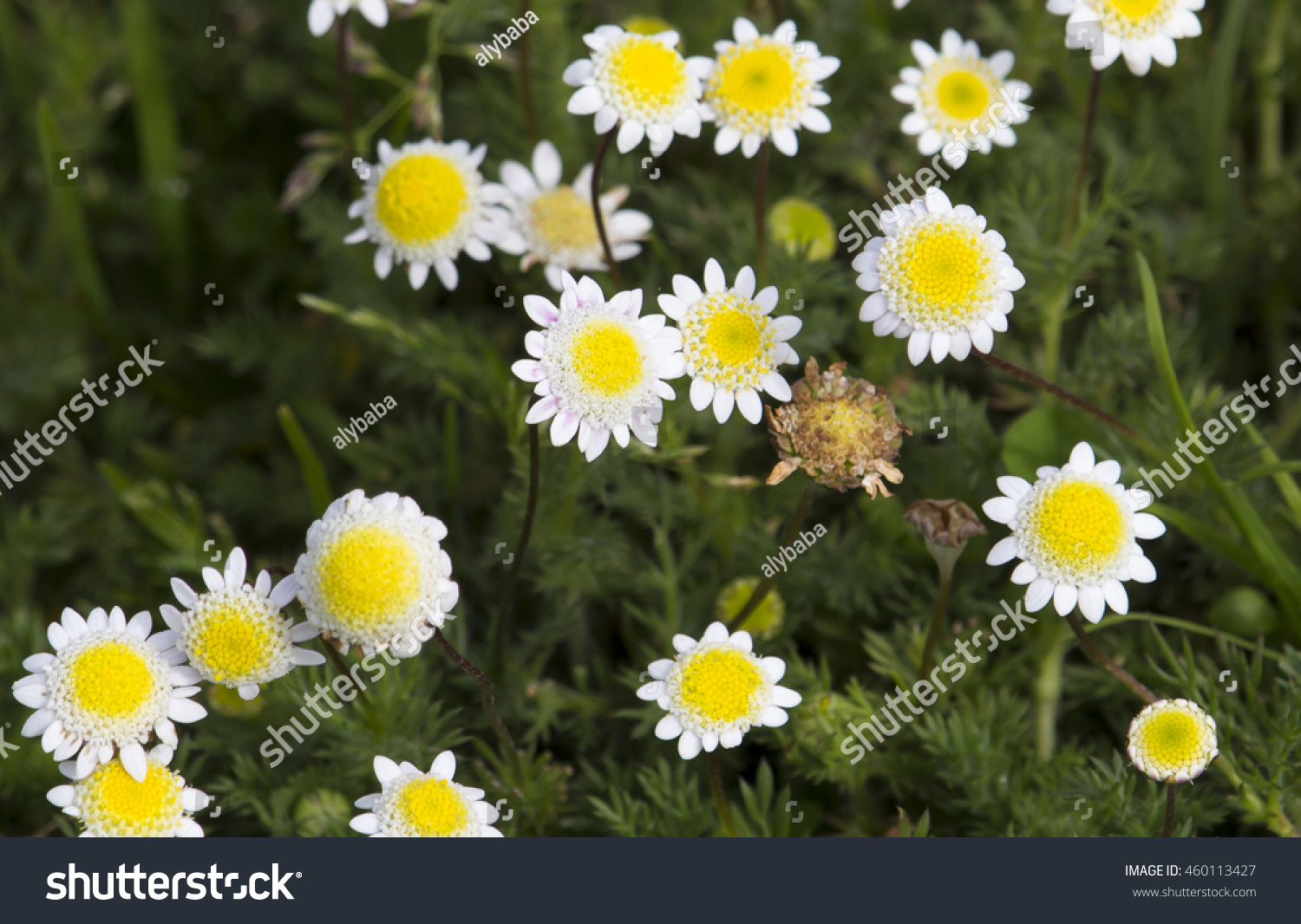 Royalty free dainty tiny cotula turbinata funnel 460113427 stock weed flowers in winter spring with feathery divided leaves white flower heads with small white ray florets with yellow center attracting bees to the mightylinksfo