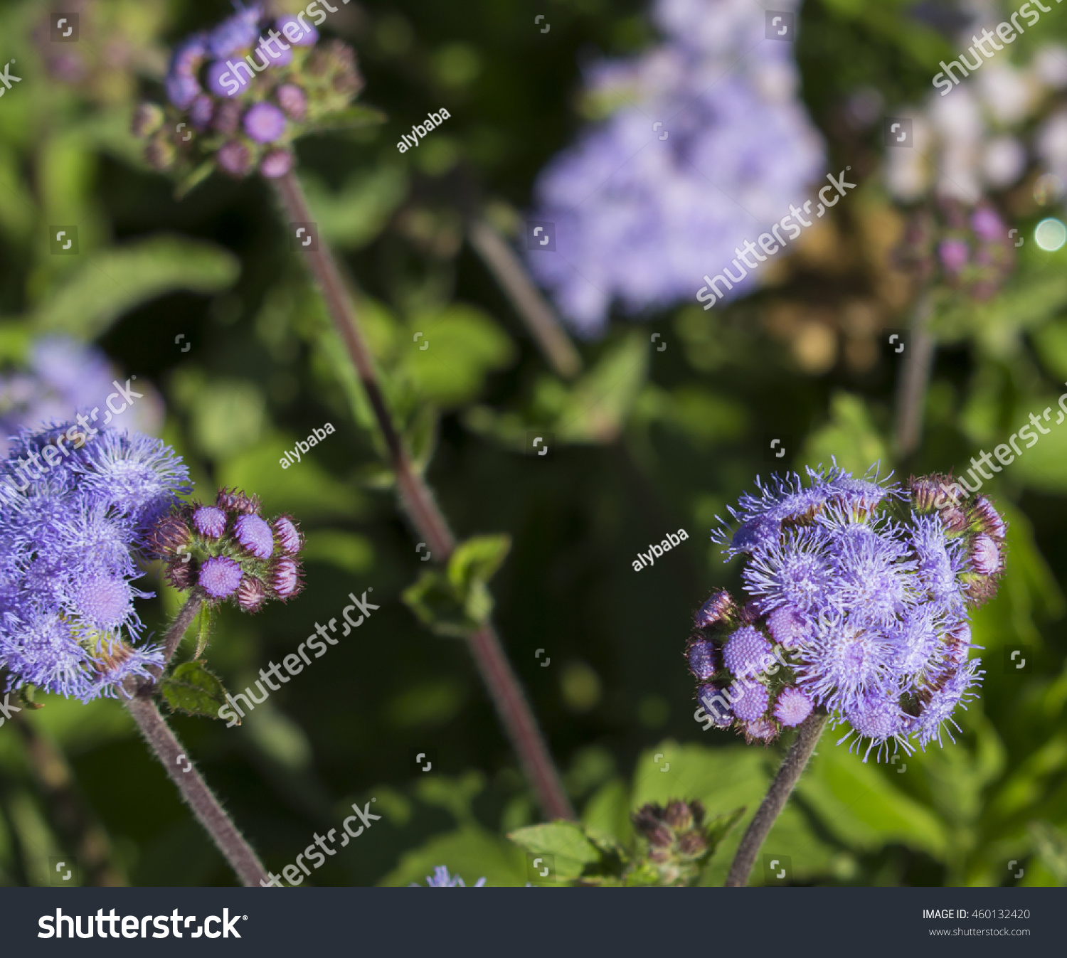 Royalty Free Ethereal Misty Powder Blue Flowers Of 460132420 Stock
