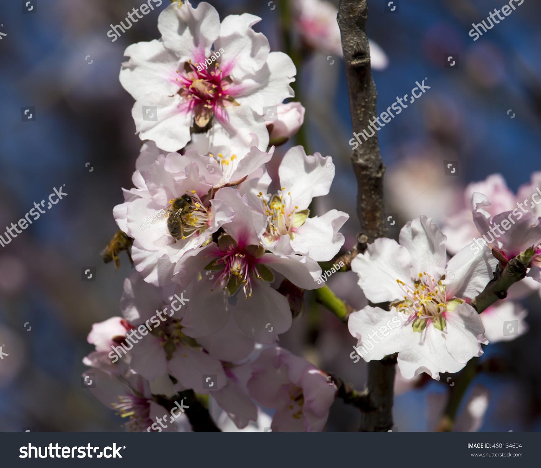 Beautiful late winter flowers almond prunus stock photo edit now beautiful late winter flowers of the almond prunus dulcis amygdalus amygdalus communis izmirmasajfo