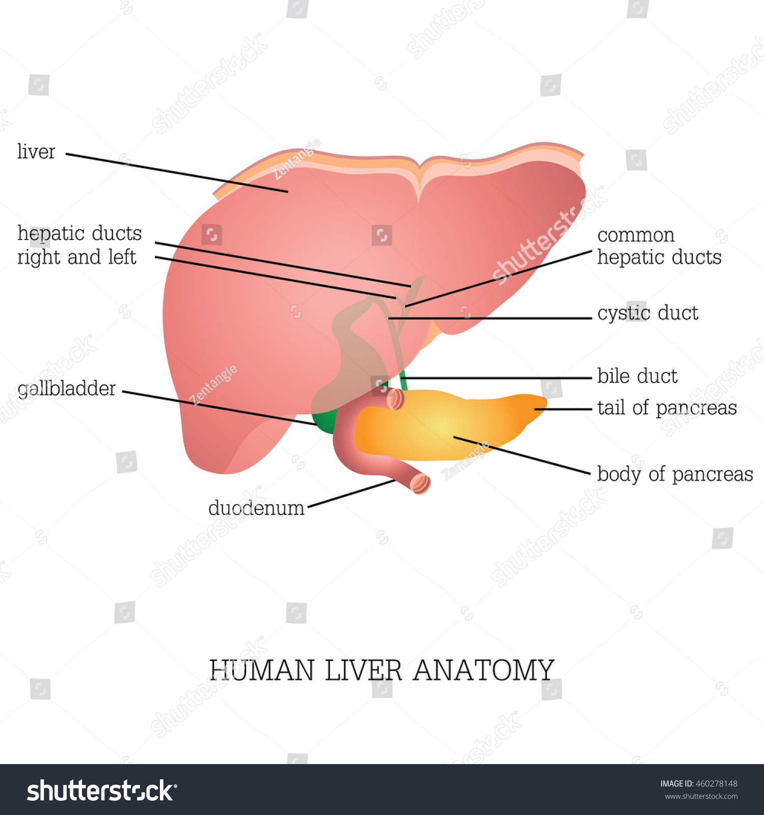 Structure Function Human Liver Anatomy System Stock Photo (Photo ...