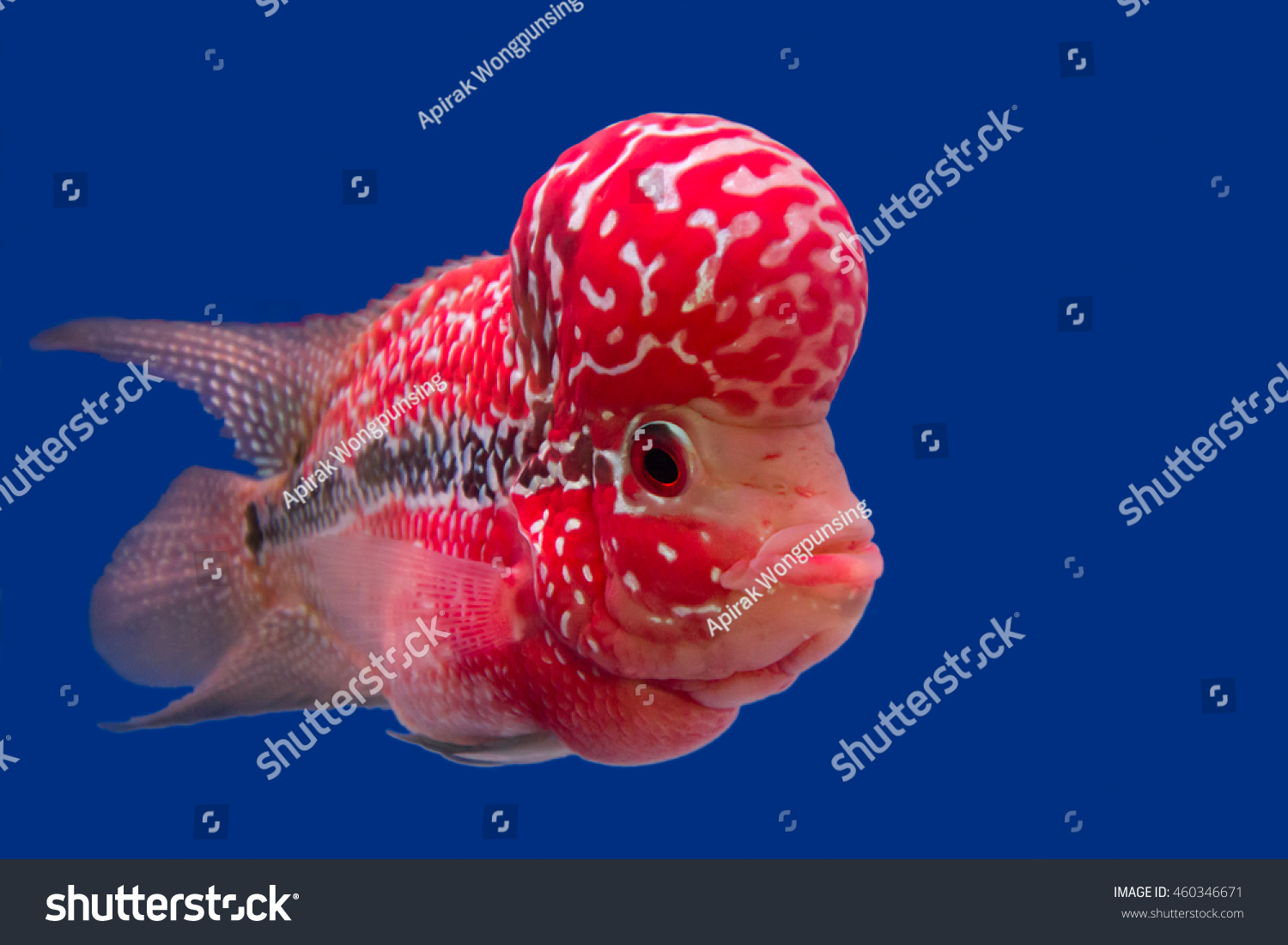 Fish Name S Flowerhorn Cichlid Stock Photo (Royalty Free) 460346671 ... for Deep Sea Fish Name  545xkb