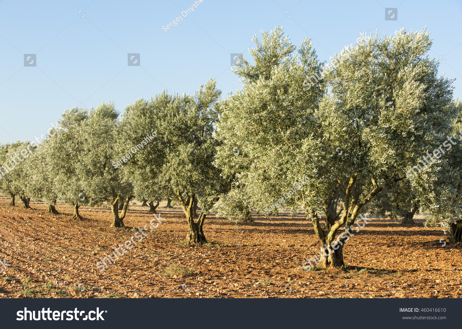 grove of olive trees on the red ground | EZ Canvas