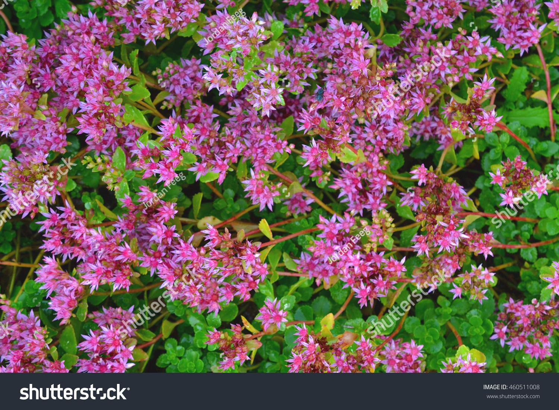 Beautiful Pink Dragons Blood Stonecrop Sedum Stock Photo Edit Now